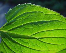 Come trattare scabbia naturalmente con le piante medicinali?