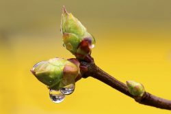 Gemmotherapie Bud und Phytotherapie
