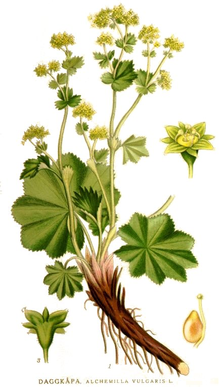 ALCHEMILLE Alchemilla vulgaris