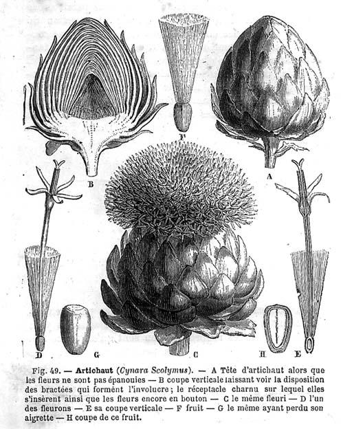 ARTICHAUT ( Cynara Scolymus L.)