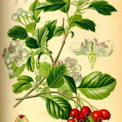 AUBÉPINE (Crataegus monogyna et oxyacantha L .