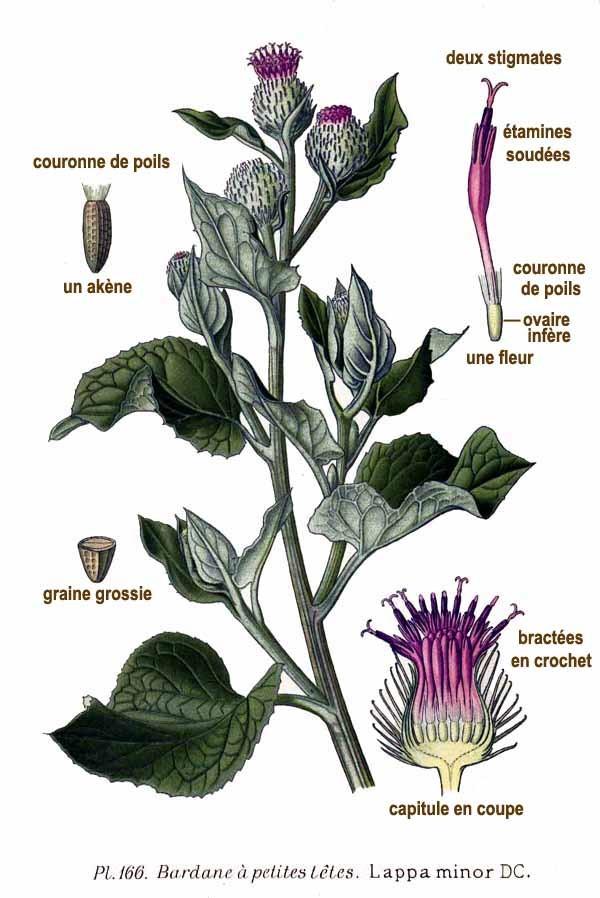 LA BARDANE (Arctium lappa L.)