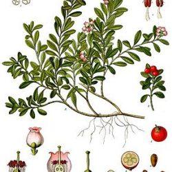 LA BUSSEROLE (Arctostaphylos uva-ursi L.)