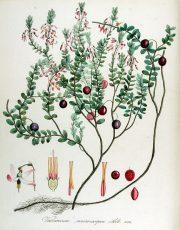 LA CANNEBERGE (Vaccinium macrocarpon)