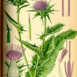 CHARDON MARIE (Silybum marianum L.)