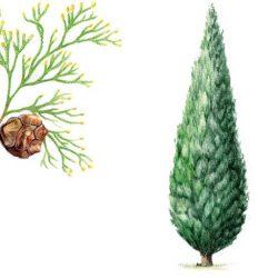 CYPRES Cupressus sempervirens L