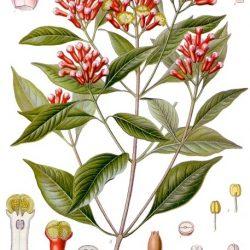 Clou de girofle (Eugenia Caryophyllus)