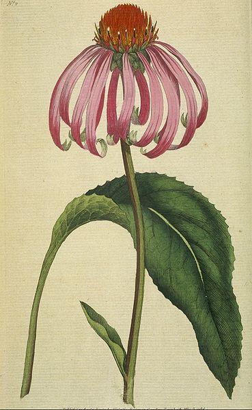 ECHINACÉE Echinacea purpurea