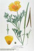ESCHSCHOLTZIA (Eschscholtzia californica