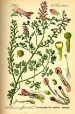 FUMETERRE (Fumaria Officinalis