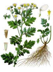 GRANDE CAMOMILLE(Tanacetum Parthenium L