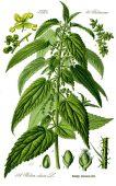 LA GRANDE ORTIE(Urtica Dioica L.) P
