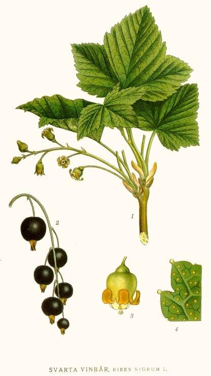 CASSIS OU GROSEILLIER NOIR (Ribes nigrum L