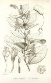 GRIFFONIA (Griffonia Simplicifolia