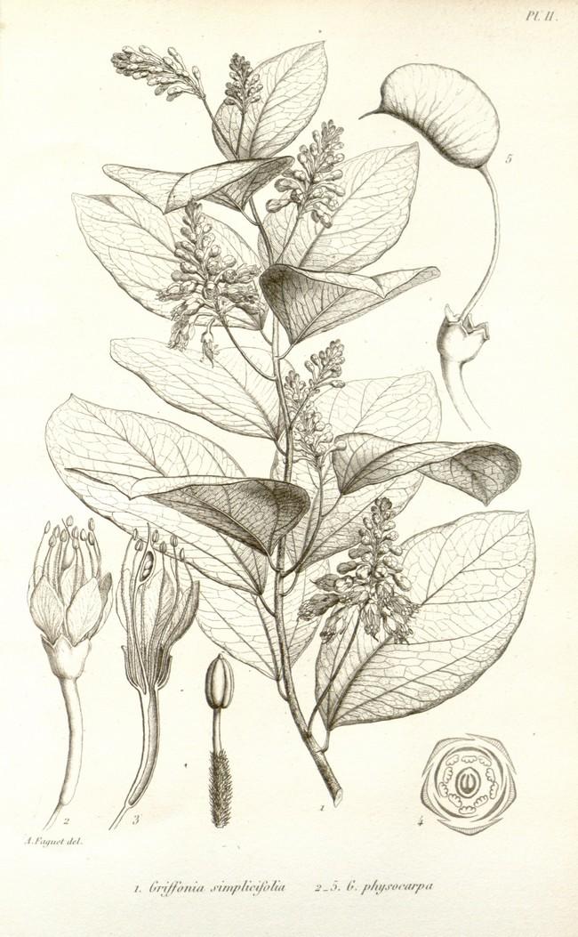 Avis Griffonia simplicifolia | Avantages - Bio - Illimité