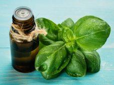 Óleo essencial de manjericão tropical, a erva real exótica