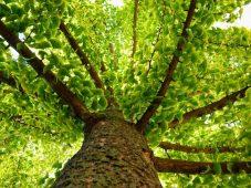 Proprietà farmacologiche delle foglie di Ginkgo biloba