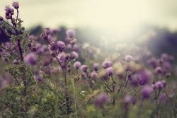 The Milk Thistle, symbolic of the mystical Rose