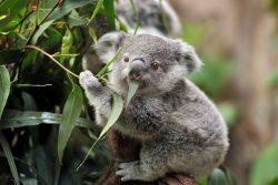 ätherischem Eukalyptusöl mit Menthol