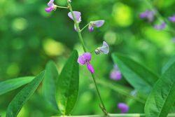 Vorteile von Desmodium-Blättern bei Lebererkrankungen